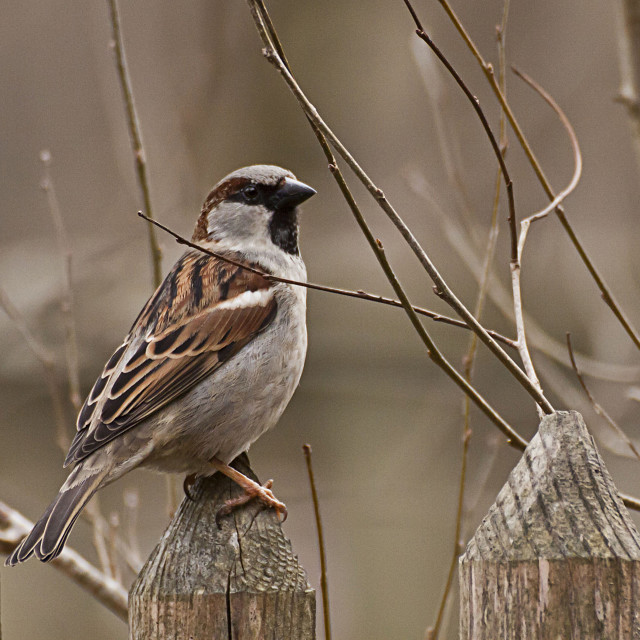"""Portrait of tree sparrow standing on a wooden fence"" stock image"