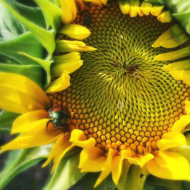 """A Japanese beetle staring down the camera from its place on a sunflower."" stock image"