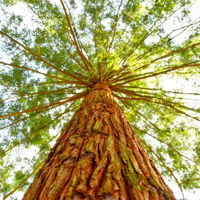 """Redwood"" stock image"