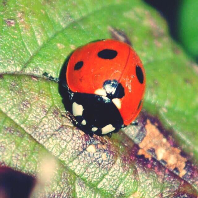 """""""A beautiful ladybug resting."""" stock image"""