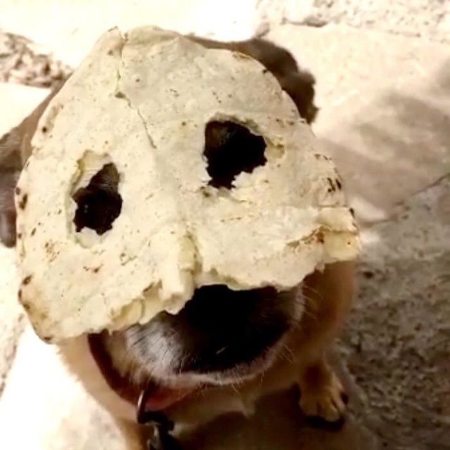 """""""Dog with homemade tortilla mask."""" stock image"""