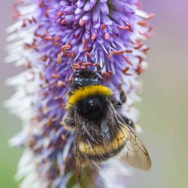 """""""Bumblebee on a purple flower in the garden"""" stock image"""