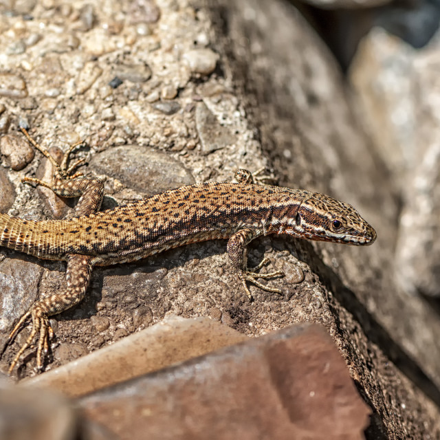 """Brown lizard near the railroad tracks"" stock image"