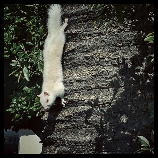 """Albino squirrel."" stock image"