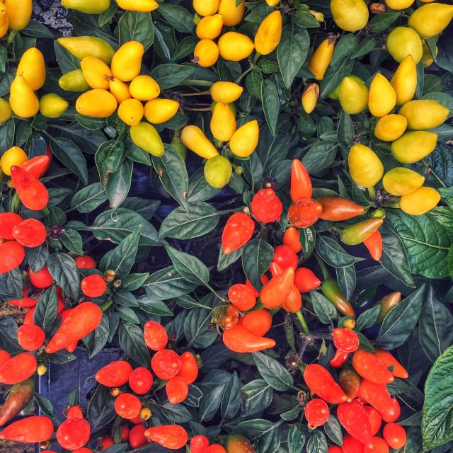 """Capsicum plants"" stock image"