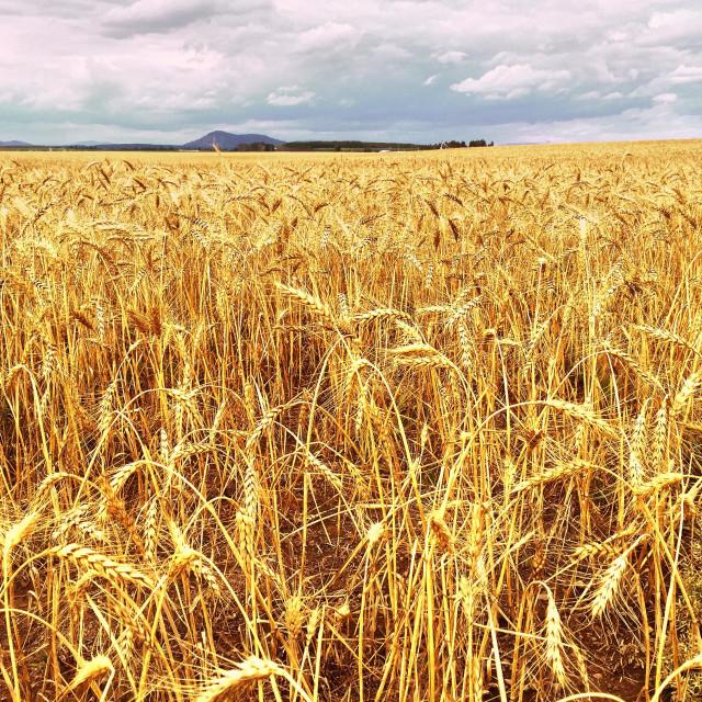 """""""Wheat farm in North Idaho."""" stock image"""