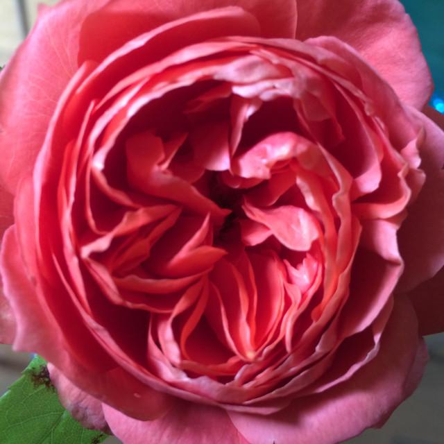"""Rose - pink, salmon, coral"" stock image"