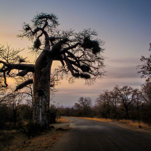 """""""Baobab"""" stock image"""
