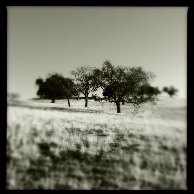 """""""Black and white oak trees in field"""" stock image"""