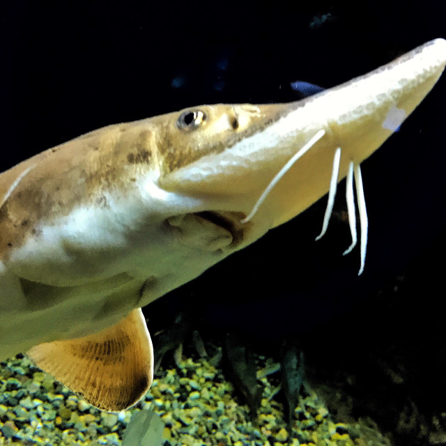 """""""Fleshy whiskers on a sturgeon"""" stock image"""