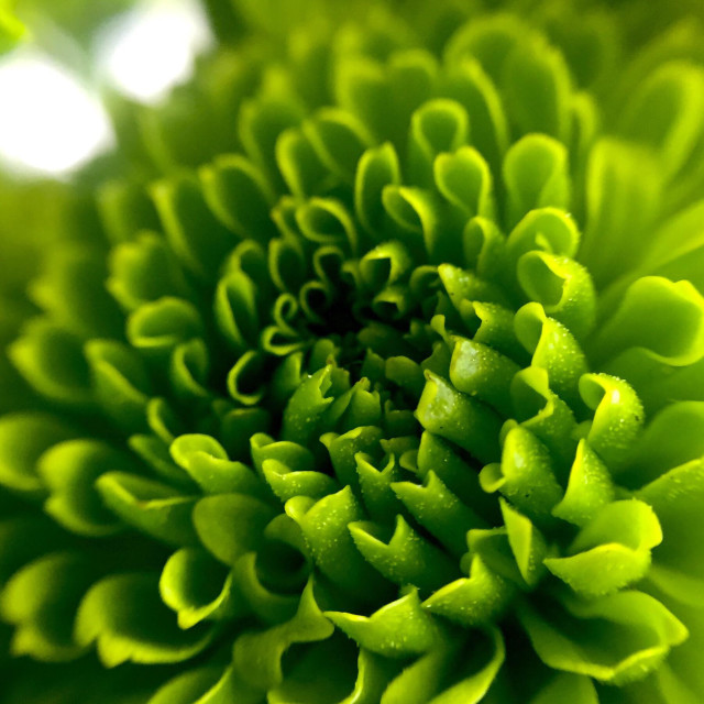 """Macro of a green mini Pom Pom flower"" stock image"