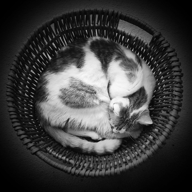 """""""Pet cat curled up in basket in black and white"""" stock image"""