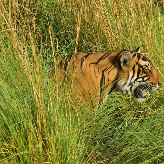 """""""Tiger in Ranthambore Forest of India, Rajasthan."""" stock image"""
