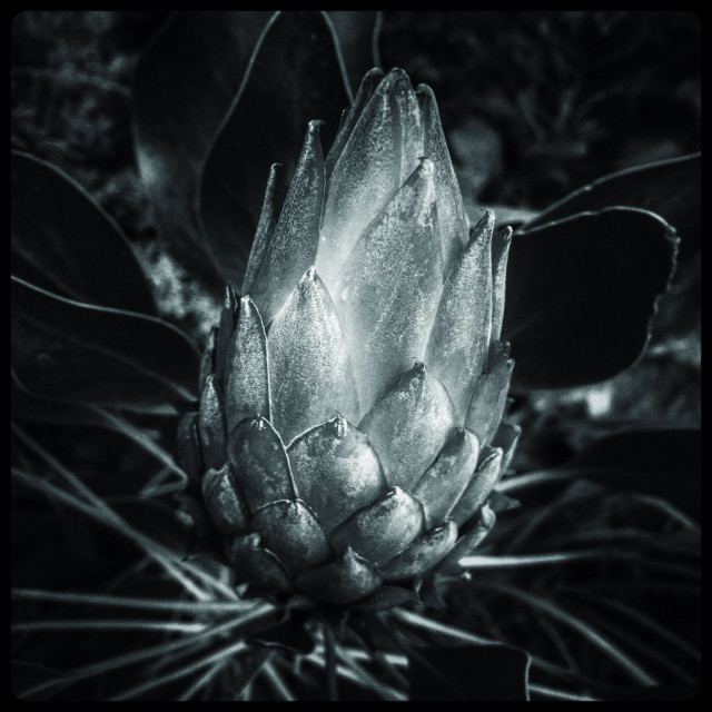 """""""Black and white photo of a Protea flower."""" stock image"""