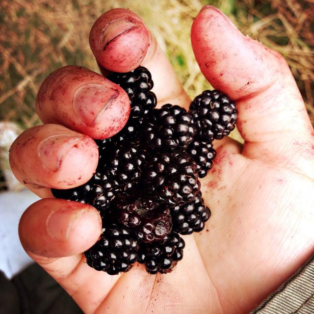 """Blackberry picking"" stock image"