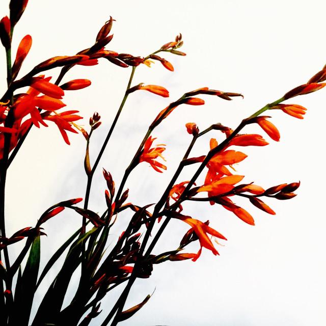 """Crocosmia Firecracker flower and plant"" stock image"