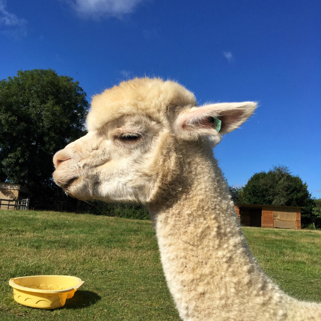 """Alpaca squinting in the sun"" stock image"