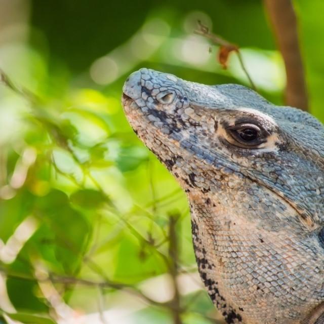 """""""Spiny-tailed iguana"""" stock image"""