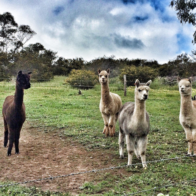 """Alpacas in the paddock"" stock image"