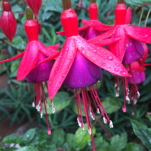 """""""Patterns in Nature - Ornamental garden Fuschia flowers, pink and purple with long stamens. Water droplets after a rain shower"""" stock image"""
