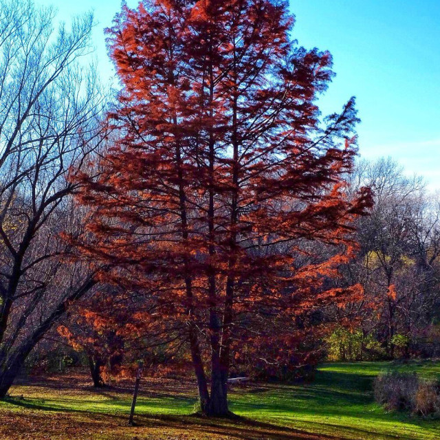 """""""Tall tree with fall color leaves #tree #fallcolor"""" stock image"""