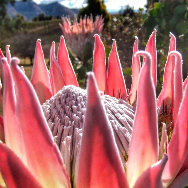 """Proteas"" stock image"