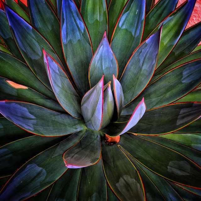 """Agave plant details in San Diego."" stock image"
