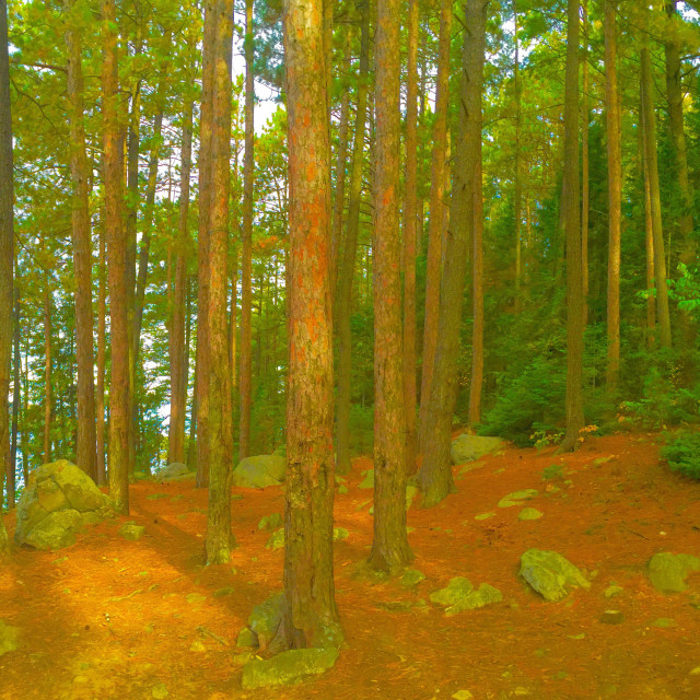 """""""Pine Forest Lakeshore Panorama With Pine Needle Covered Ground"""" stock image"""