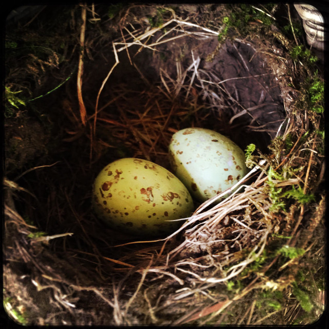"""""""Two bird eggs in a nest."""" stock image"""