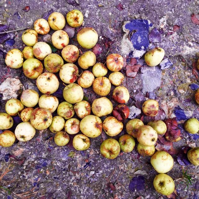 """Pile of fallen apples"" stock image"