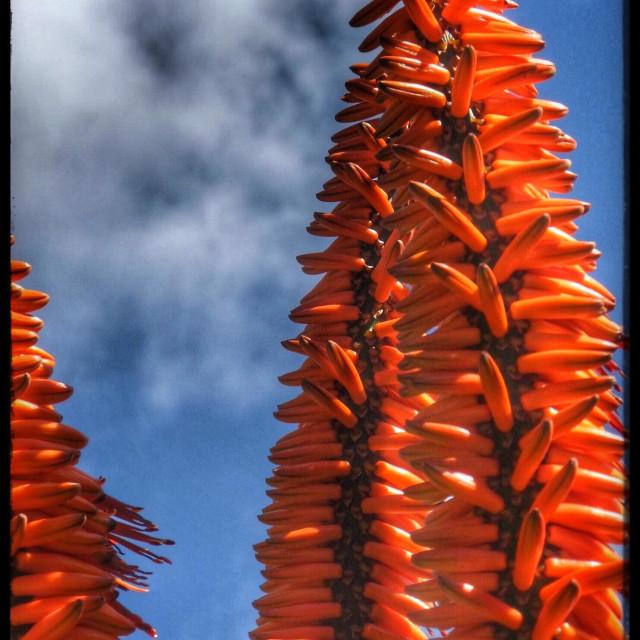 """Aloe flower"" stock image"