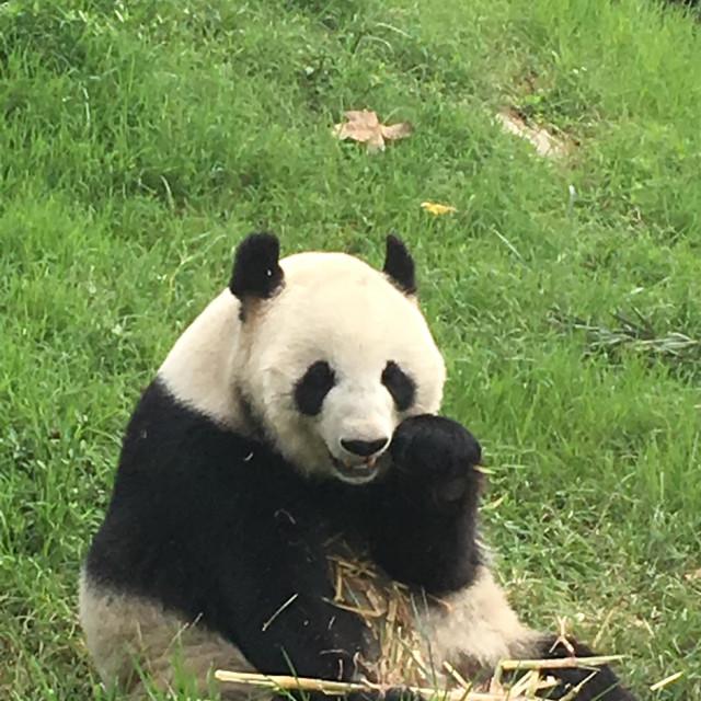 """Panda aka snuggle teddy bear"" stock image"
