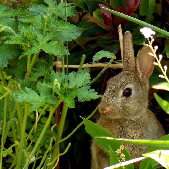 """Bunny Rabbit Hiding in the Garden"" stock image"
