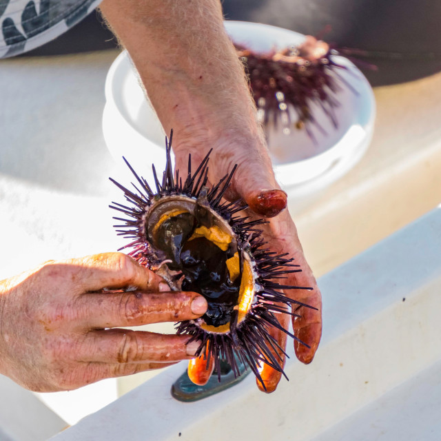 """Opening Sea Urchins on the boatside"" stock image"