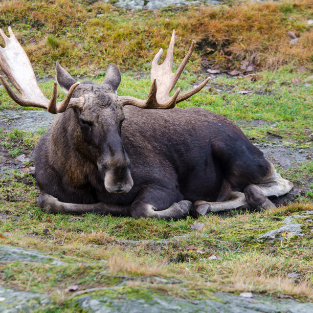 """""""one big mosse lay on the grass"""" stock image"""