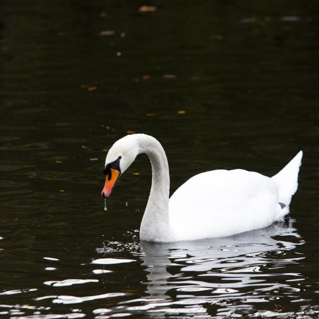 """one beutiful white swan swim in the lake"" stock image"