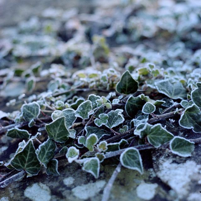 """Frosty ivy"" stock image"