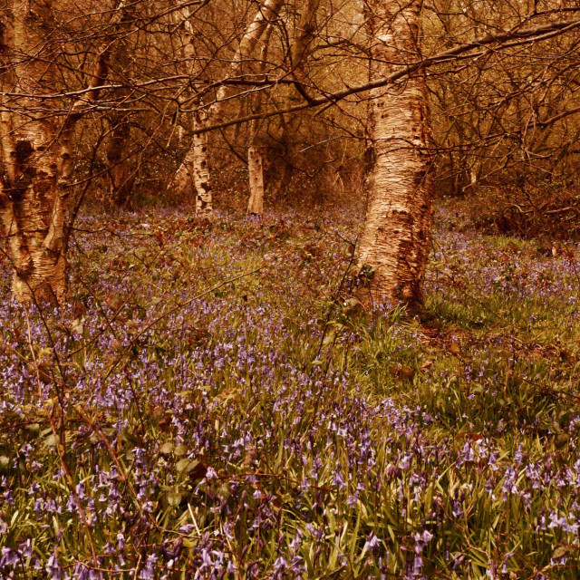 """""""Silverbirch and Bluebells"""" stock image"""