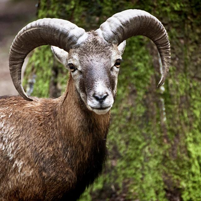 """""""Alpine ibex, wild goat portrait"""" stock image"""