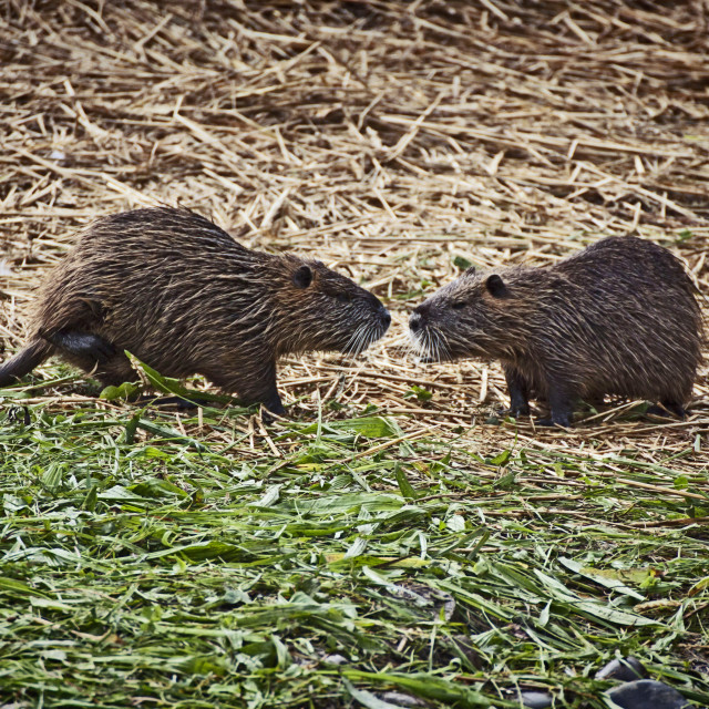 """Two coypus, similar to large rats, watching each other not in a friendly way"" stock image"