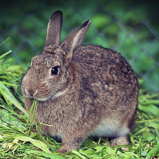 """Cute brown rabbit eating grass"" stock image"