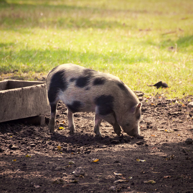 """Pot-bellied pig in the farmyard at sunset"" stock image"