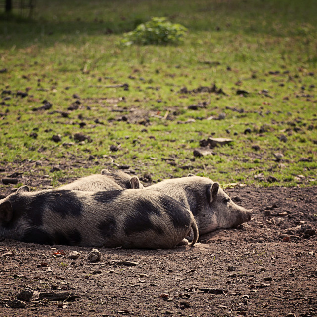 """""""Three pot-bellied pigs resting at evening"""" stock image"""