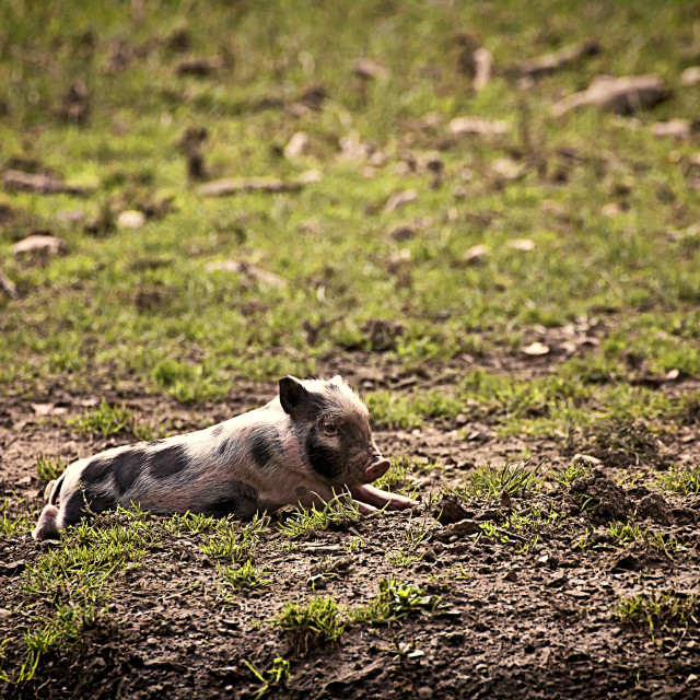 """""""Cute pot-bellied pig resting"""" stock image"""