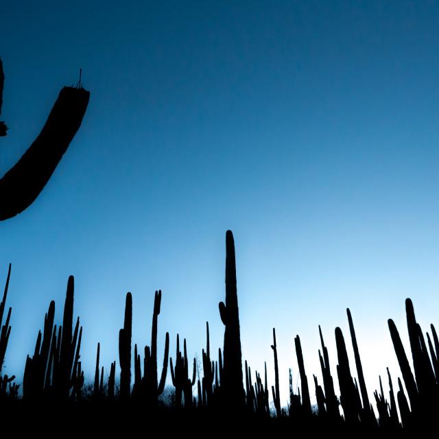 """Cactus silhouette"" stock image"
