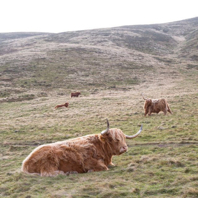 """""""Famous hairy coo long hair cow in Scottish hills resting on grass"""" stock image"""