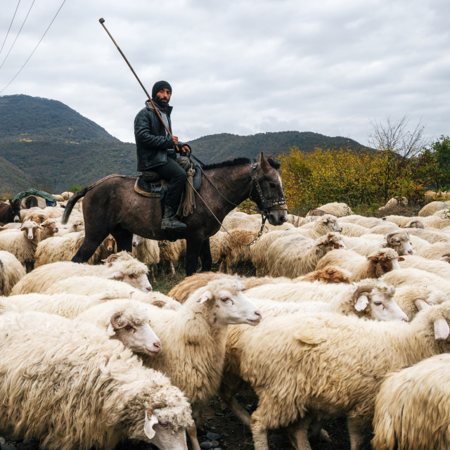 """Shepherd with crook riding horse and herding group of sheep"" stock image"