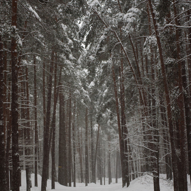 """Snowy forest trail with pine trees at background in forest."" stock image"