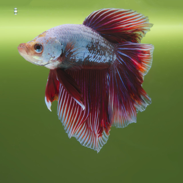 """""""A Fighting Fish"""" stock image"""