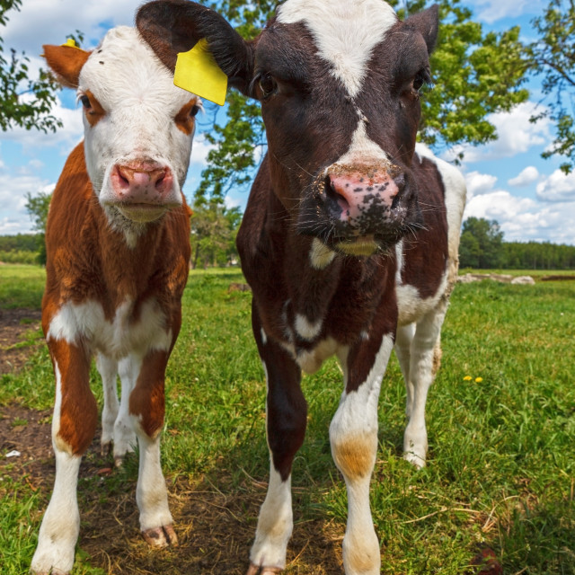 """Two funny cows looking at camera"" stock image"